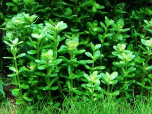 "Ammania sp. ""Bonsai"""