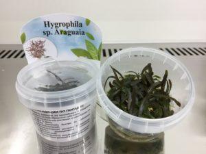 Hygrophila sp.''Araguaia''