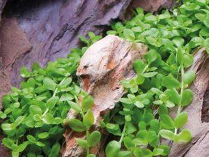 """Micranthemum sp. """"Montecarlo"""""""