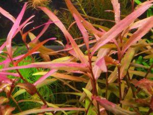 "Persicaria sp. ""Kawagoeanum"""