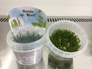 Rotala sp.Pearl