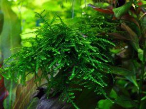 "Taxiphyllum sp. ""Spiky"""