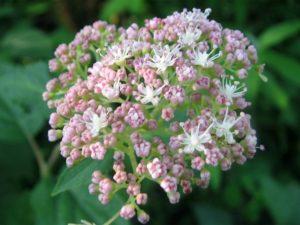Pink Pincushion