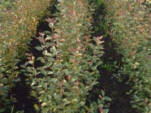 Подвой яблони 54-118