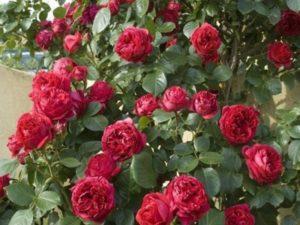Red Eden Rose