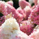 Living Strawberry Blossom