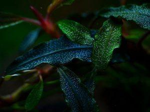 "Bucephalandra sp. ""Kedagang"""