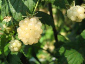 Polar Berry
